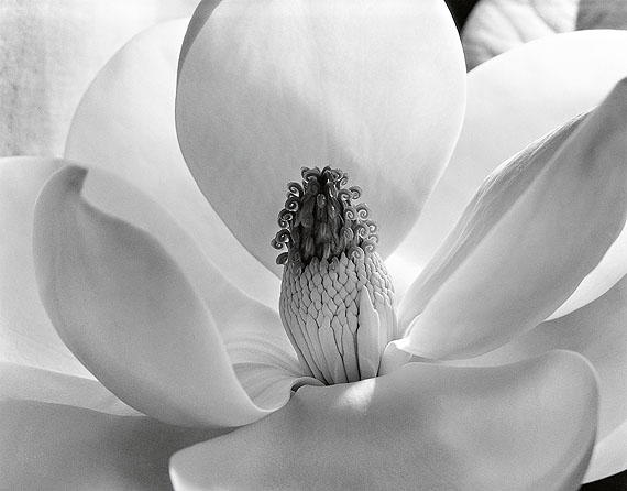 Magnolia Blossom / Magnolienblüte, 1925© Imogen Cunningham Trust