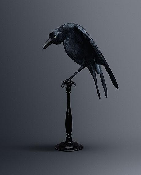 CARRION CROW [Memoria Eidética Corvus] Bird of memories © Vincent Fournier