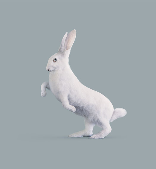 RABBIT [Leporidae cognitiva] Very intelligent rabbit © Vincent Fournier