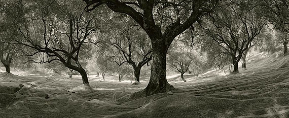 Pentti Sammallahti, Cilento, Olive Trees, Italy, 1999Archival pigment print, 15 1/4 x 37 1/4 inches© Pentti Sammallahti, Courtesy Nailya Alexander Gallery, New York