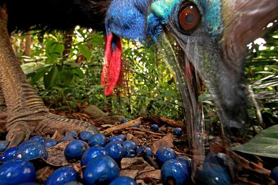 © Christian Ziegler: DeutschlandHelmkasuar Vogel frisst die Früchte des blauen Quandong Baums, Australien