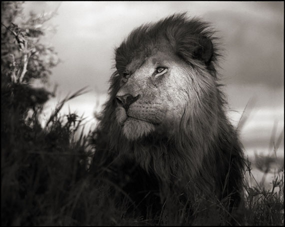Lion in Shaft of Light · Maasai Mara · 2012 © Nick Brandt