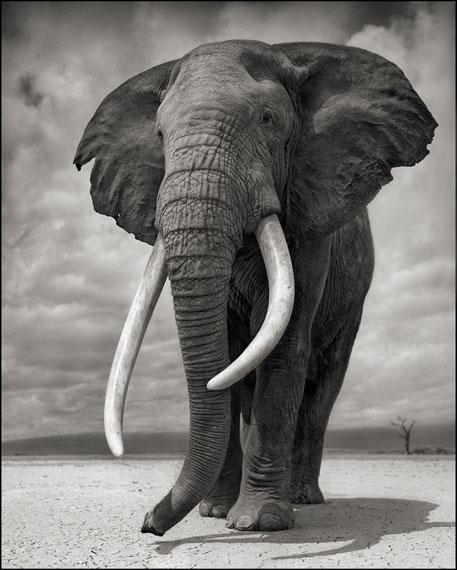 Portrait of Elephant on Bare Earth · Amboseli · 2011 © Nick Brandt