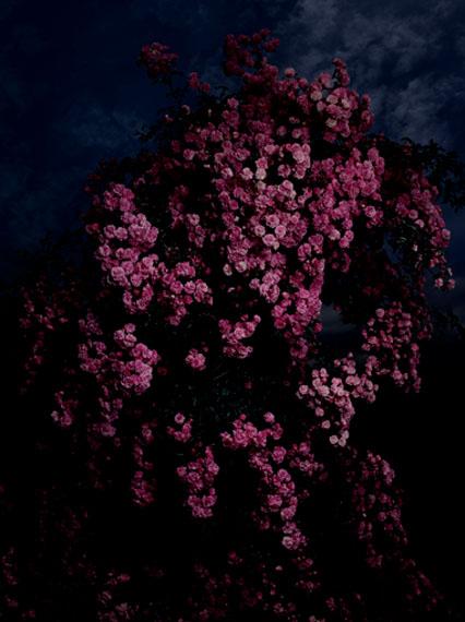 Guido MocaficoRosa Bush Rambler, 2012Edition von 10Chromogenic Print150 x 112 cm
