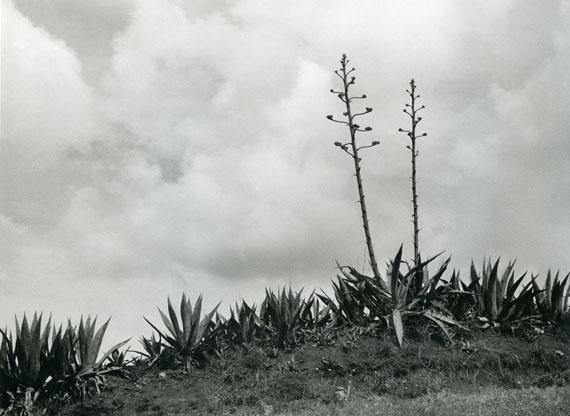 """Alfred EhrhardtAgaven mit zwei sechs Meter hohen Blüten-""""Stengeln"""" 1951Vintage Silbergelatineabzug17,4 x 23,6 cm© bpk / Alfred Ehrhardt Stiftung"""