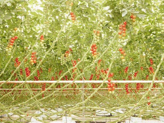 Henrik Spohler,  Tomato trusses in Middenmeer, the Netherlands (Tomatenrispen) from the series / aus der Serie