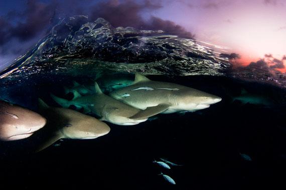 David Doubilet: Lemon sharks on patrol © David Doubilet / Undersea Images, Inc.
