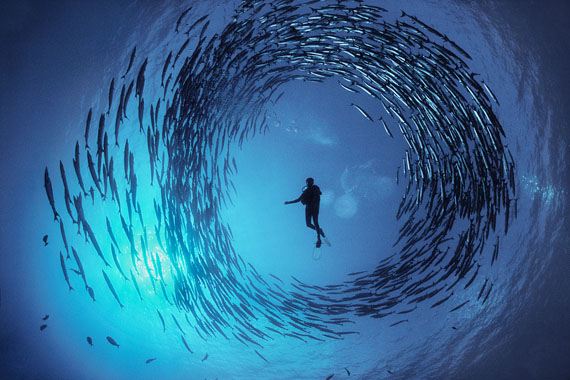 David Doubilet: Circling Barracuda © David Doubilet / Undersea Images, Inc.