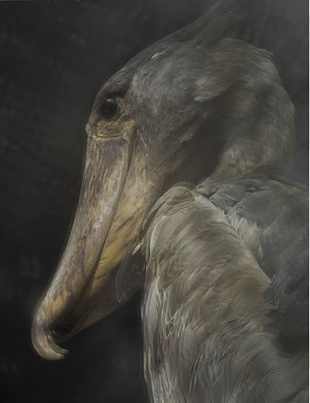 Balaniceps Rex, 2013 © Sarah Moon courtesy Michael Hoppen Gallery