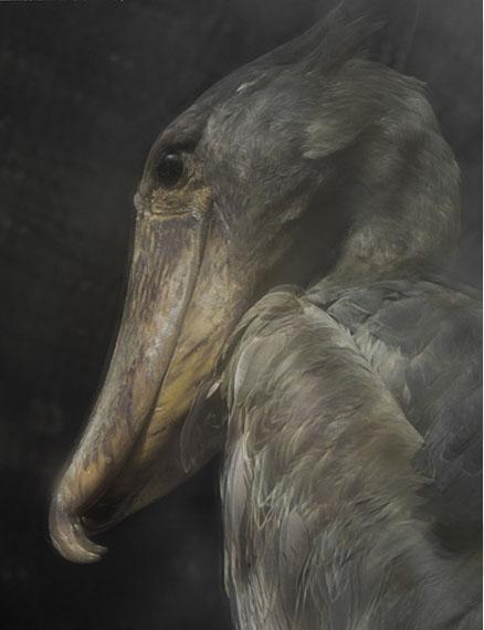 Balaniceps Rex, 2013 © Sarah Moon courtesy Michael Hoppen Gallery