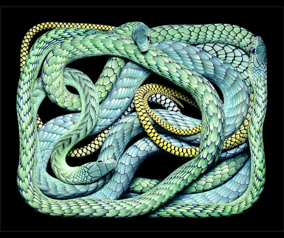 Guido MocaficoDendroaspis Viridis, 2003© Guido Mocafico, courtesy Hamiltons Gallery, London