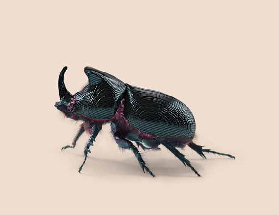RHINO BEETLE [Oryctes transmissionis] Insect adapted to continuous tracking. © VINCENT FOURNIER
