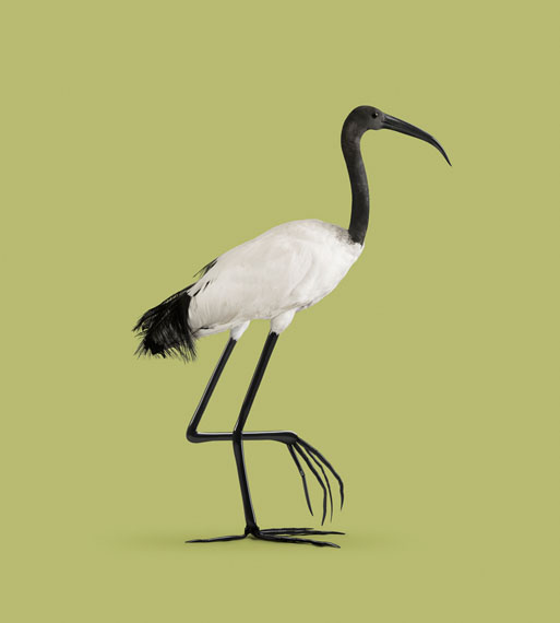 IBIS [Ibis temperatio] Drought- and frost-resistant bird. © VINCENT FOURNIER