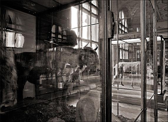 Matthias Holländer: Naturhistorisches Museum Wien 3, Wisent, Fine Arte Print, 1991/2007