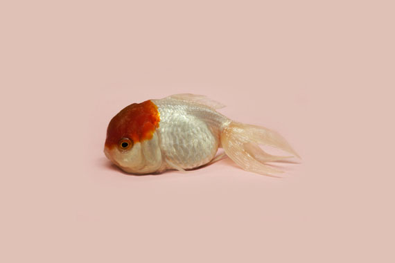 "Robert Zhao Renhui: ""World Goldfish Queen"""