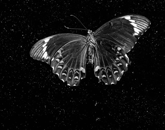 Trent ParkeBlack Butterfly from The Black Rose, 2014gelatin silver hand print120 x 152cmcourtesy the artist and Stills Gallery