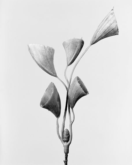Robert Voit: Cornucopiae cucllatum, Trichtergras Busch, 2014, aus der Serie: The Alphabet of New Plants