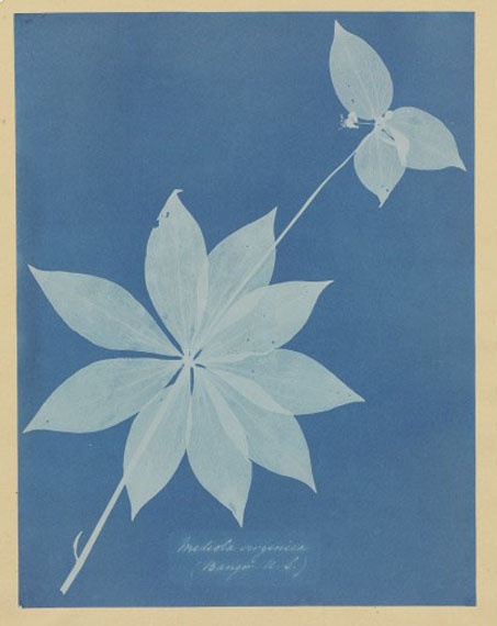 ANNA ATKINSMediola Arginica (Bangor, US), 1852–1854cyanotype photogram$15,000–25,000Atkins was a friend of British scholar, scientist and aristocrat Sir John Herschel, who invented the cyanotype photographic process in 1842. By the next year, Atkins was utilizing the process to produce a study of algae and seaweed, which she then later applied to a variety of flowering plants and ferns. This particular piece is on the cover of the Hillman catalogue for its graphic clarity and exquisiteness.