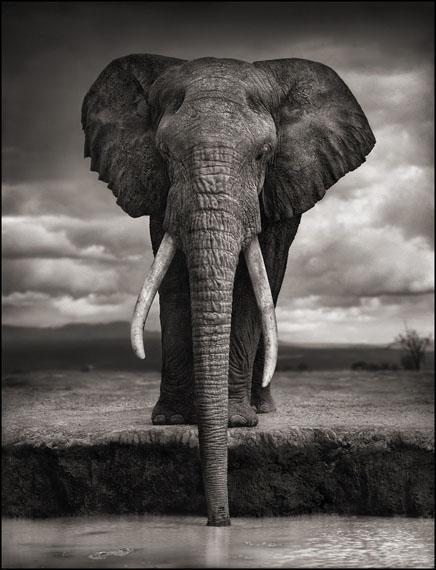 Elephant Drinking, Amboseli, 2007 © Nick Brandt