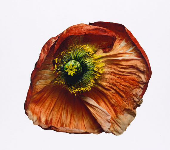 Iceland Poppy (B), New York, 2006© The Irving Penn Foundation