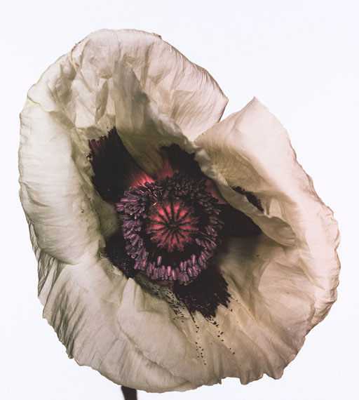Poppy 'Barr's White', New York, 1968