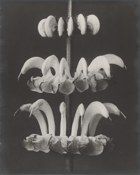 Karl Blossfeldt, Salvia argentea (Sage), 1920-25Vintage gelatin silver print. 29.8 x 23.8 cm.Estimate € 18,000 - 25,000Lot 9 / Auction 1068 Photography