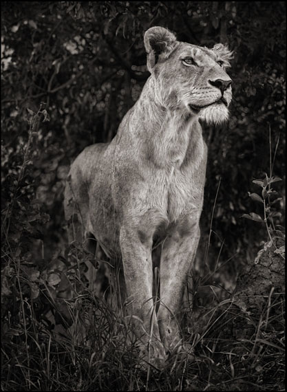 Lioness Against Dark Foliage, Serengeti, 2012© Nick Brandt. Courtesy of the artist and Edwynn Houk Gallery, New York and Zurich