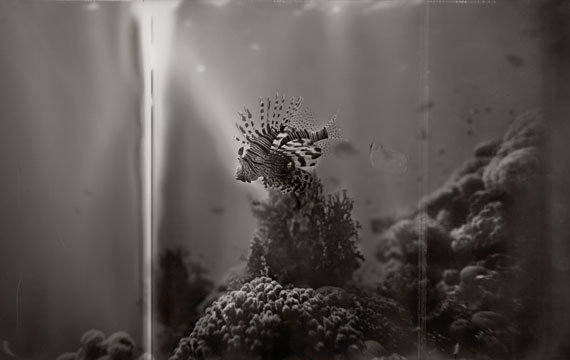 "Gregor Törzs: ""Ultramarine Lion Fish"" © Courtesy of Bernheimer Fine Art Photography"