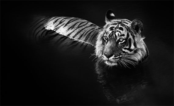 David Yarrow: The Killer, 2013, 132 x 193 cm © David Yarrow