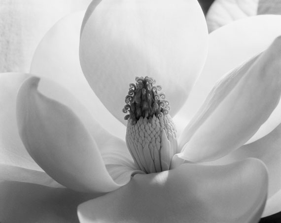 Magnolia Blossom, 1925 © Immogen Cunningham
