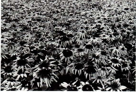 © Daido MoriyamaSunflowers, Letter to Nakahira Takima, 198838 x 45,6 cm