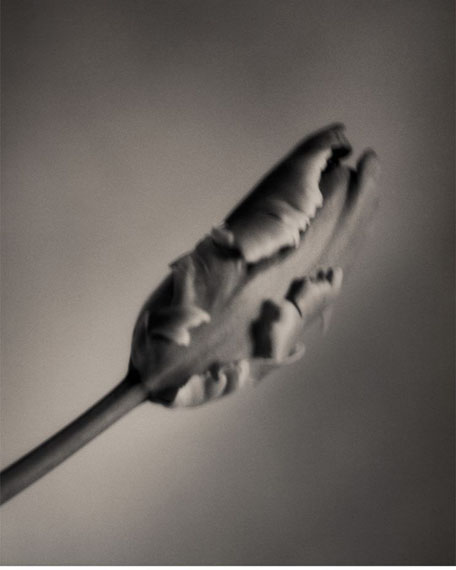 "© Silke Lauffs: ""French Tulip, Berlin, March 2001"""