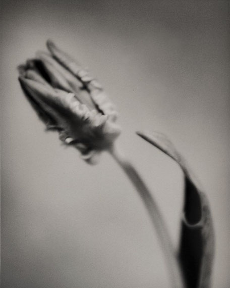 "© Silke Lauffs: ""Parrot Tulip, Berlin, March 2001"""