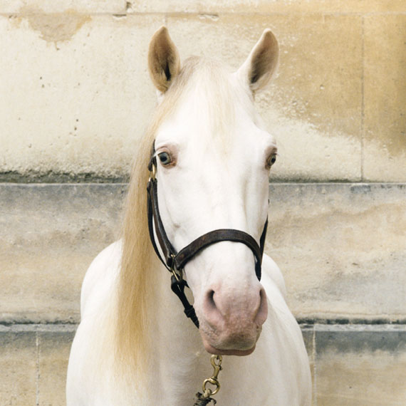 "Farinelli © Sophie Hatier, Marilyn / Courtesy of the ""Académie Equestre de Versailles"" by Bartabas"