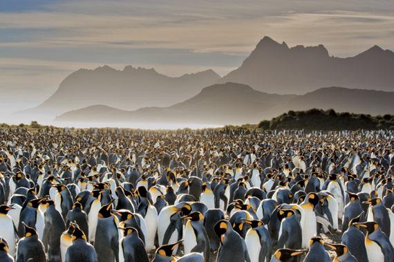 Frans Lanting, USAKÖNIGLICHE KOLONIEFrans Lanting, Antarktis. Ein Meer von Königspinguinen (Aptenodytes patagonicus) erstreckt sich bis zu den Hügeln der Insel Südgeorgien im südlichen Atlantik. Königspinguine, die zweitgrößte Pinguinart, versammeln sich hier jedes Jahr ab September. Die Wasservögel bilden Brutkolonien, manchmal mit mehreren Zehntausend Tieren.