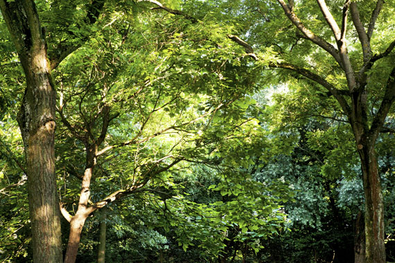 Ellen Bornkessel:  Embassy of Trees #5