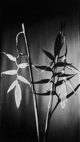 Susanna KrausSchatten V (Papageienblume), 2016Silbergelatineabzug auf Barytpapier62 x 110 cmEd. 8+2 AP© Susanna Kraus