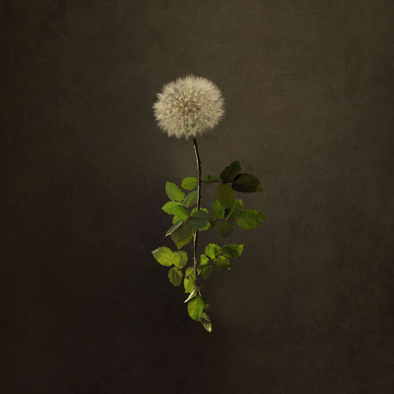Marie-Cécile Thijs (Heerlen, 1964)DANDELION ROSE 2018Lambda C-print op dibond, met gematteerd plexiglas en zwarte baklijst90 x 90 cmCourtesy SmithDavidson Gallery