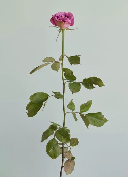 Chung Heeseung, Untitled #12, from the series Rose is a rose is a rose, 2016