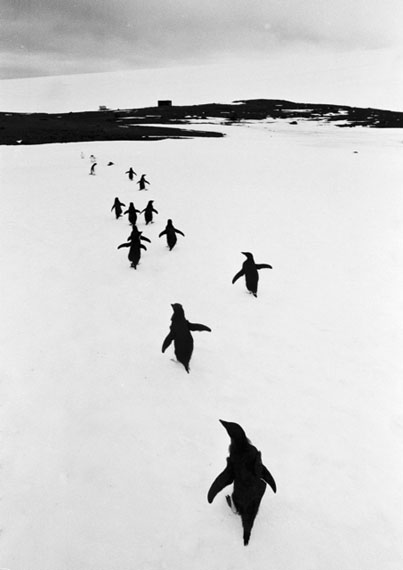 © Thomas Hoepker 'Penguins in the Argentinean Antarctica', 1954 / Courtesy Johanna Breede PHOTOKUNST