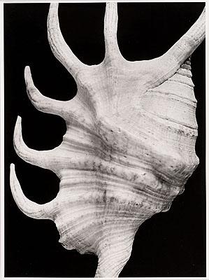 Alfred Ehrhardt Pterocera aurantiaca L., Ostafrika 1932 Vintage Print Silbergelatine auf Barytpapier 24,2 x 17,9 cm (Darstellung) © VG Bild-KunstSammlung Ann und Jürgen Wilde