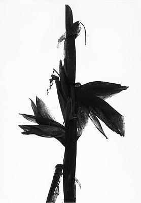Maïs, Camargue 1960Silver Gelatin Print© Lucien ClergueCourtesy Galerie Bernheimer