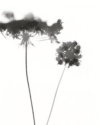 Flower Power 4 Daucus carota ssp. carota40x50cm DiasecEd 5+2ap© Horst Jösch