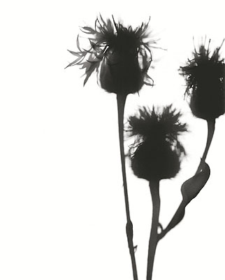 Flower Power 5 Centaurea jacea40x50cm DiasecEd 5+2ap© Horst Jösch