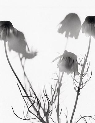 Flower Power 8 Matricaria chamomilla54x70cm DiasecEd 5+2ap© Horst Jösch