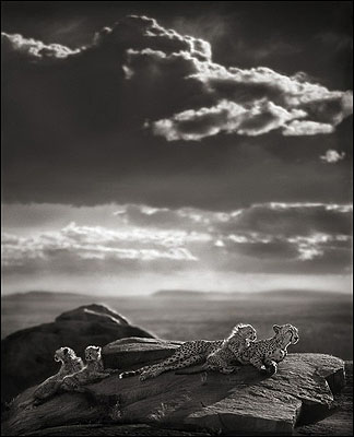 Cheetah and Cubs Lying on Rock, Serengeti 2007© Nick Brandt
