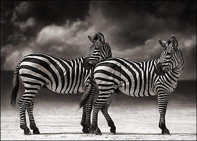 © NICK BRANDT, PORTRAIT OF TWO ZEBRAS TURNING HEADS, NGORONGORO CRATER, 2005