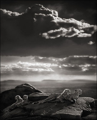© Nick Brandt, Cheetah & Cubs Lying on Rock, Serengeti 2007