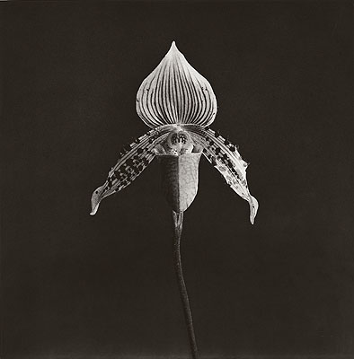 Robert MapplethorpeOrchid. 1987 Photogravure on vellum. 83 x 82 cm (114 x 97 cm). Lot 242 / € 14 000Auction 949 Photography