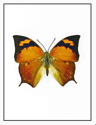 Butterfly © Fergus Greer